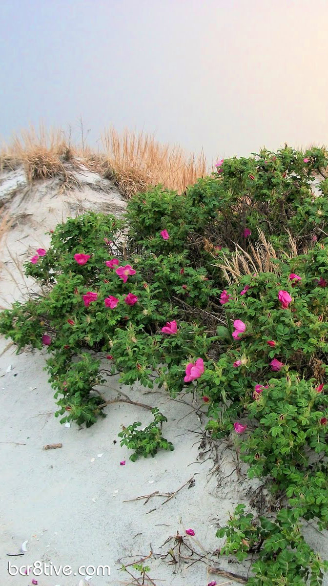Wild Beach Roses in New England