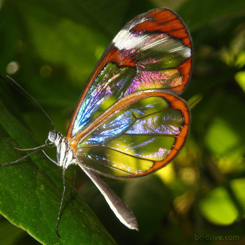 Greta Oto - Glasswing Butterfly