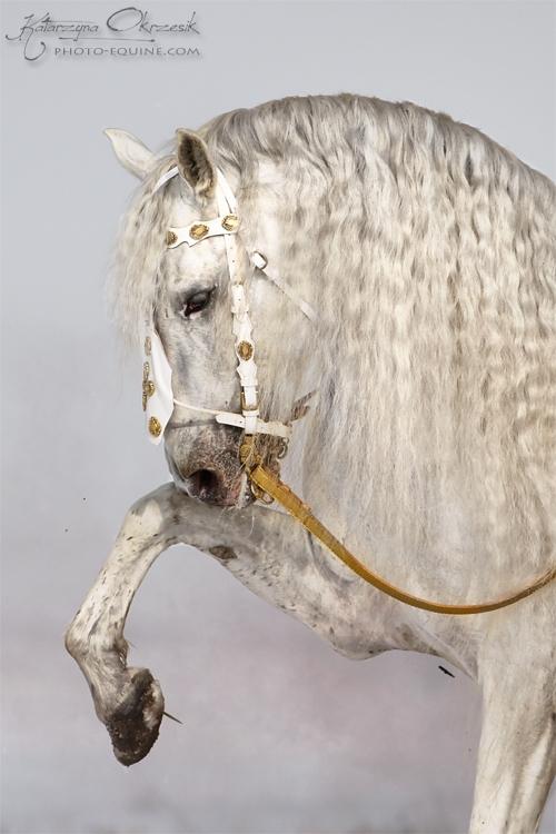 PRE stallion Armas Avellano - Andallusion