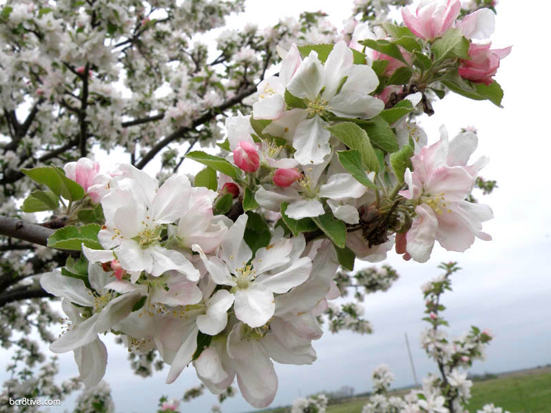 Apple Blossoms View