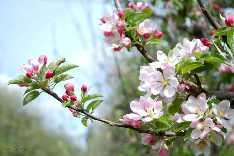 Graceful Apple Blossom Branch
