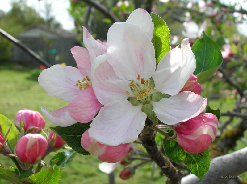 Large Apple Blossoms