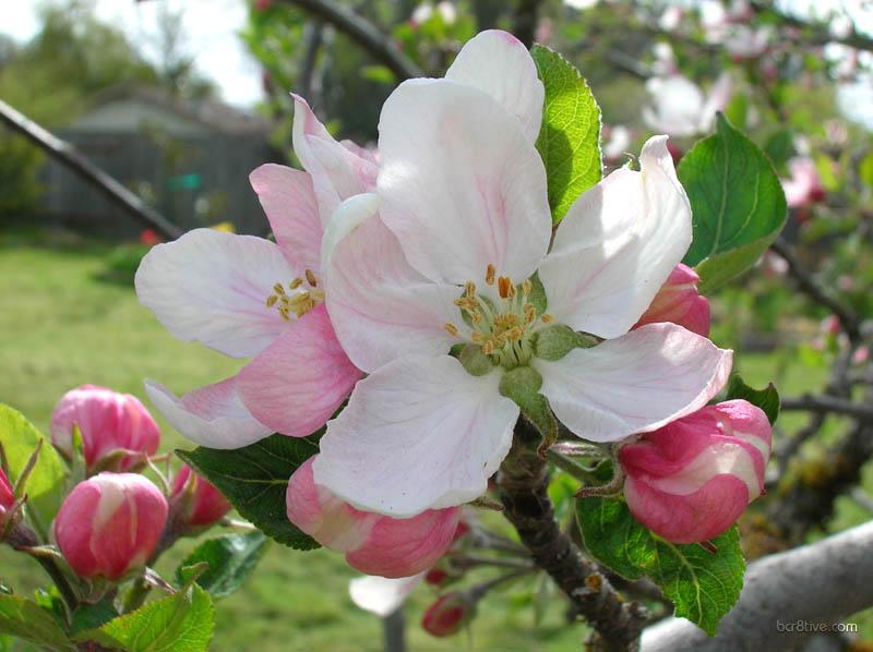Large Apple Blossoms