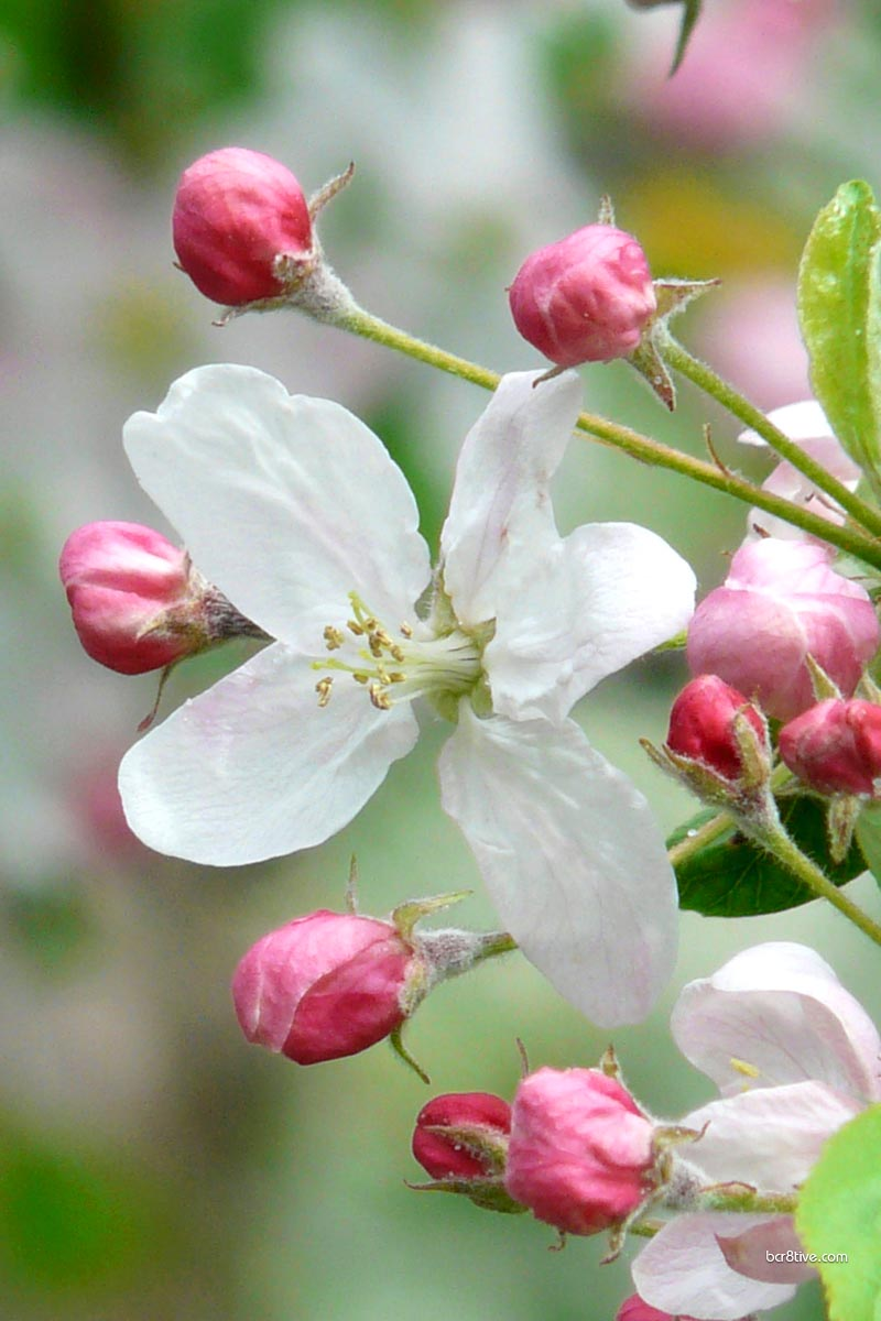 Apple Blossom Close-up