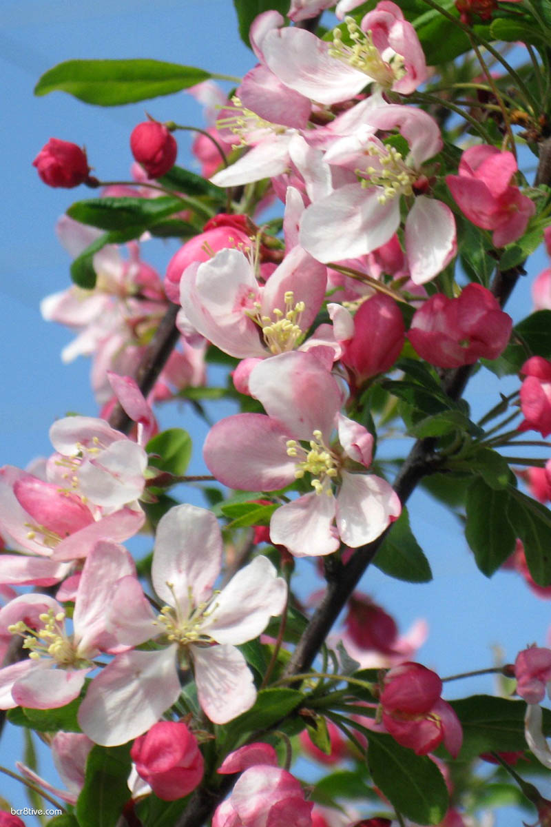 Apple Blossoms & Blue Sky