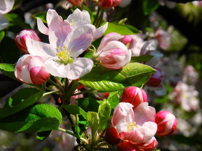 Bright Apple Blossoms