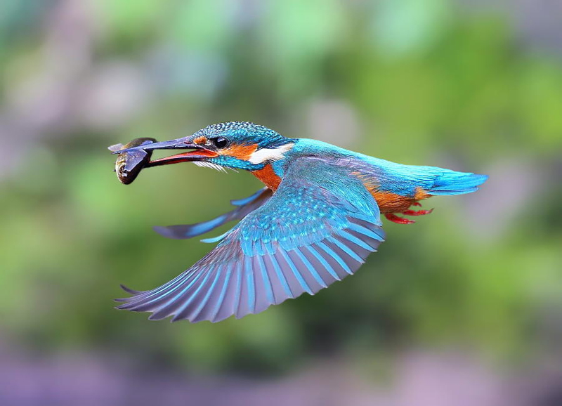 Common Kingfisher by Dajan Chiou