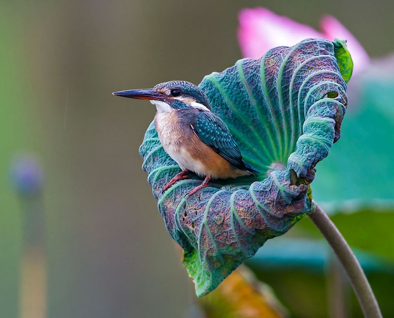 Kingfisher in Lotus - Jon Chua