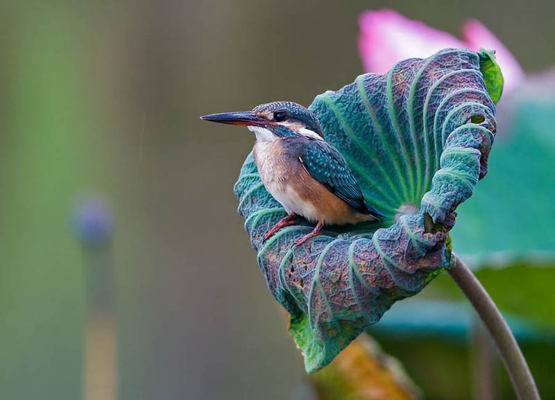 Kingfisher perched in a flower by Jon Chua
